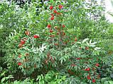 Бузина красная семена (20 шт), фото 5