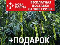 Лапина ясенелистная семена (20 шт) крылоорешник или птерокария для саженцев Pterocarya fraxinifolia+подарок, фото 1
