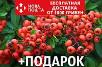 Пираканта ярко-красная семена (20 шт) Pyracantha coccinea для выращивания саженцев +подарок, фото 1