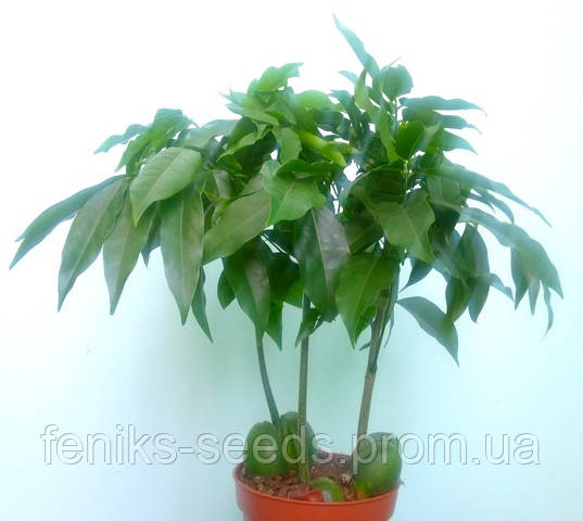 Каштан комнатный Каштаноспермум молодое растение