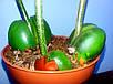 Каштан комнатный Каштаноспермум молодое растение, фото 2