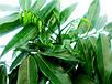 Каштан комнатный Каштаноспермум молодое растение, фото 4