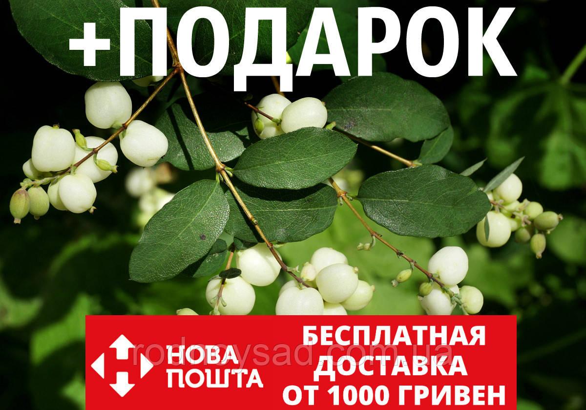 Снежноягодник семена (20 шт) белый или кистистый Symphoricarpos albus +подарок
