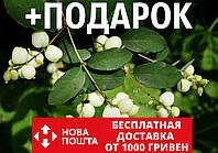 Снежноягодник семена (20 шт) белый или кистистый Symphoricarpos albus +подарок, фото 1