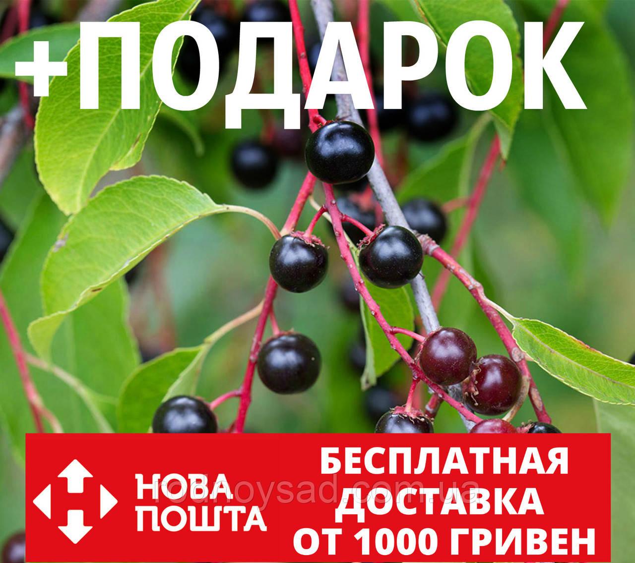 Черёмуха поздняя семена (20 шт) американская вишня для саженцев Prúnus serótina +подарок