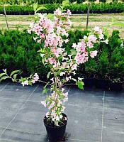 Вейгелацветущая розовая | Вейгела квітуча рожева (ЗКС; горшок 5 л)