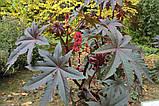 Клещевина обыкновенная семена (20 шт) (Ricinus commúnis) +подарок, фото 7