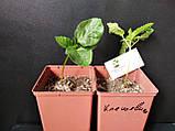 Клещевина обыкновенная семена (20 шт) (Ricinus commúnis) +подарок, фото 4