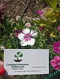 Гвоздика китайская семена (20 шт), фото 3