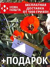 Тюльпан красный ранний луковицы (10 шт)