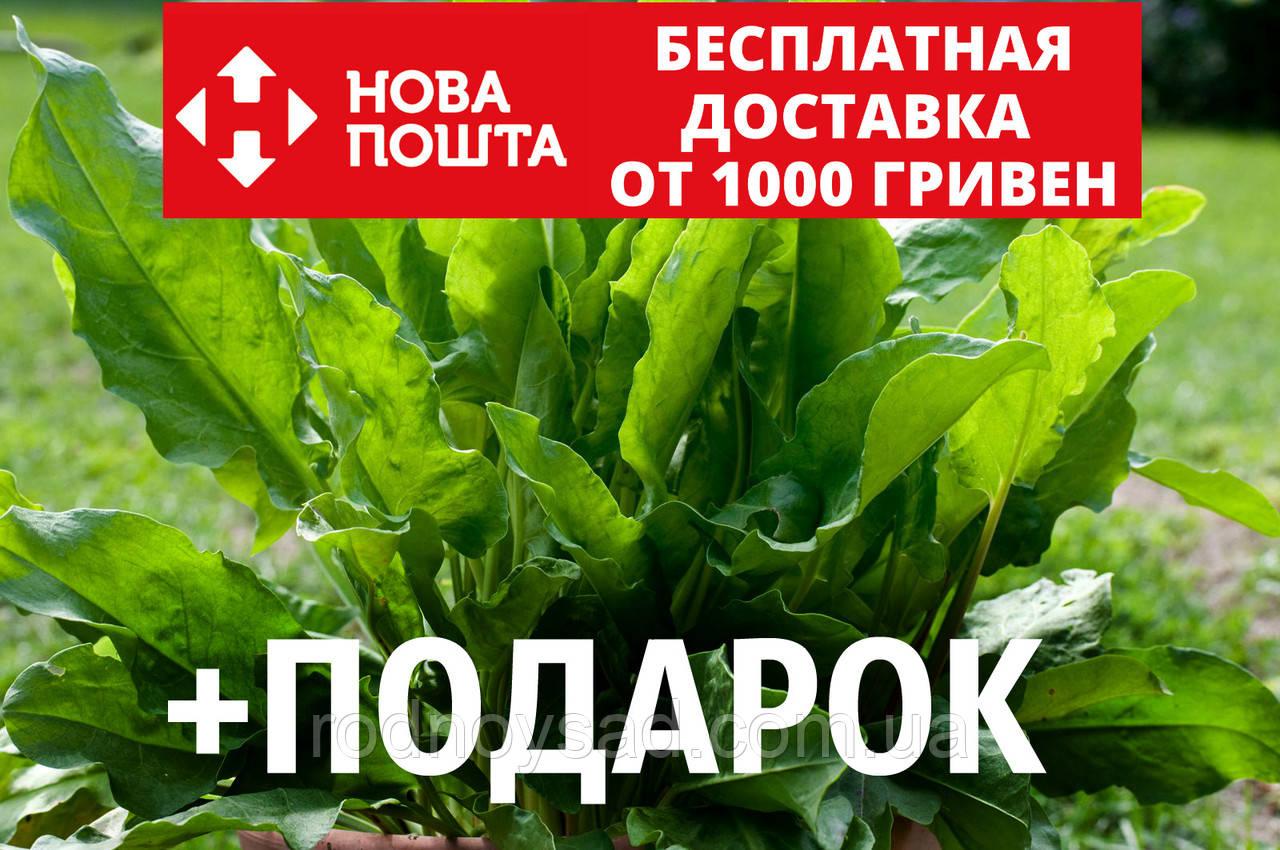 Щавель конский семена (около 200 шт) Rúmex confértus, кислица +подарок
