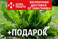 Щавель конский семена (около 200 шт) Rúmex confértus, кислица +подарок, фото 1