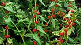 Шпинат земляничный семена (20 шт) шпинат малина, жминда, марь, Blítum virgátum + подарок, фото 3