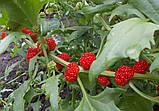 Шпинат земляничный семена (20 шт) шпинат малина, жминда, марь, Blítum virgátum + подарок, фото 5