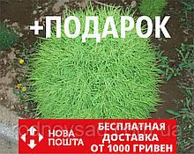 Кохия семена (50 шт) летний кипарис, бассия веничная, Bássia scopária +подарок