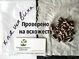 Клещевина обыкновенная семена (20 шт) (Ricinus commúnis) +подарок, фото 3