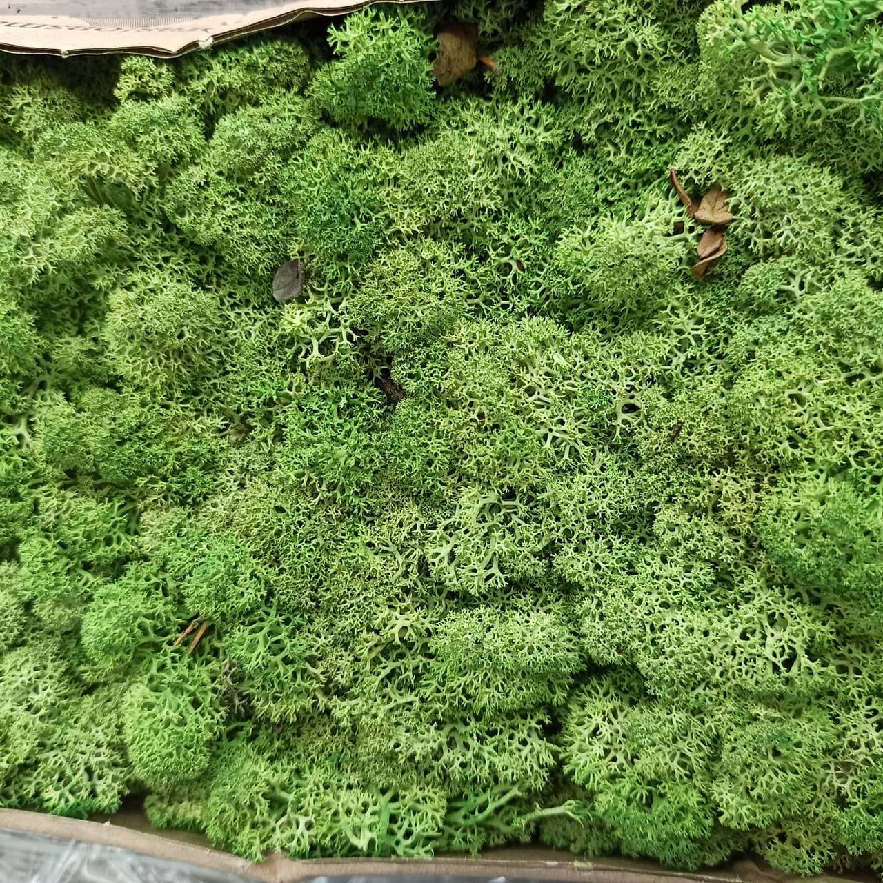 Стабілізований мох (ягель) 500г фасовка