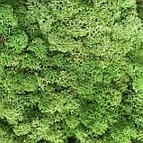 Стабілізований мох (ягель) 500г фасовка, фото 4