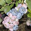 """Голубика """"Аврора"""",1.5-летняя в горшке 0.5л (Р9) h-20-30 см, 1-3 побегов"""