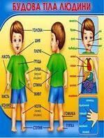 Плакат школьный: Строение тела человека