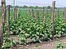 Сітка шпалерна огіркова Конюшина 1.7 м x 500м, фото 2
