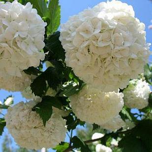 Саджанці калини Бульдонеж Розеум (Boule de Neige Roseum) - декоративна, зимостійка