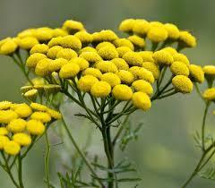 Пижма цветы 50 г
