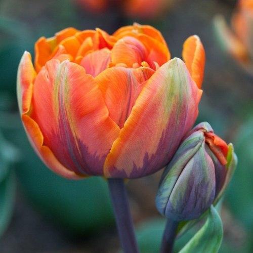 Тюльпан Orange Princess, 11+