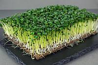 Горчица черная семена микрогрин экосемена microgreens seeds  non gmo certified Вес 1 к