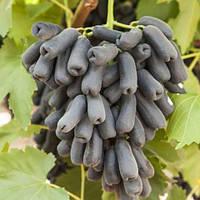 Виноград Аватар (вегетуючих)