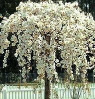 Саджанці вишні (сакура) на штамбі Pendula (штамб Н - 1,5 -2,0 м), фото 1