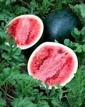 Насіння кавуна раннього Вогник сорт 10 грам насіння Україна