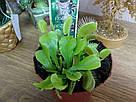 Венерина мухоловка растение-хищник с листьями-ловушками в маленьком горшке, фото 4