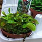 Венерина мухоловка растение-хищник с листьями-ловушками в маленьком горшке, фото 5