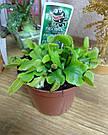 Венерина мухоловка растение-хищник с листьями-ловушками в маленьком горшке, фото 2
