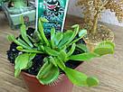 Венерина мухоловка растение-хищник с листьями-ловушками в маленьком горшке, фото 3