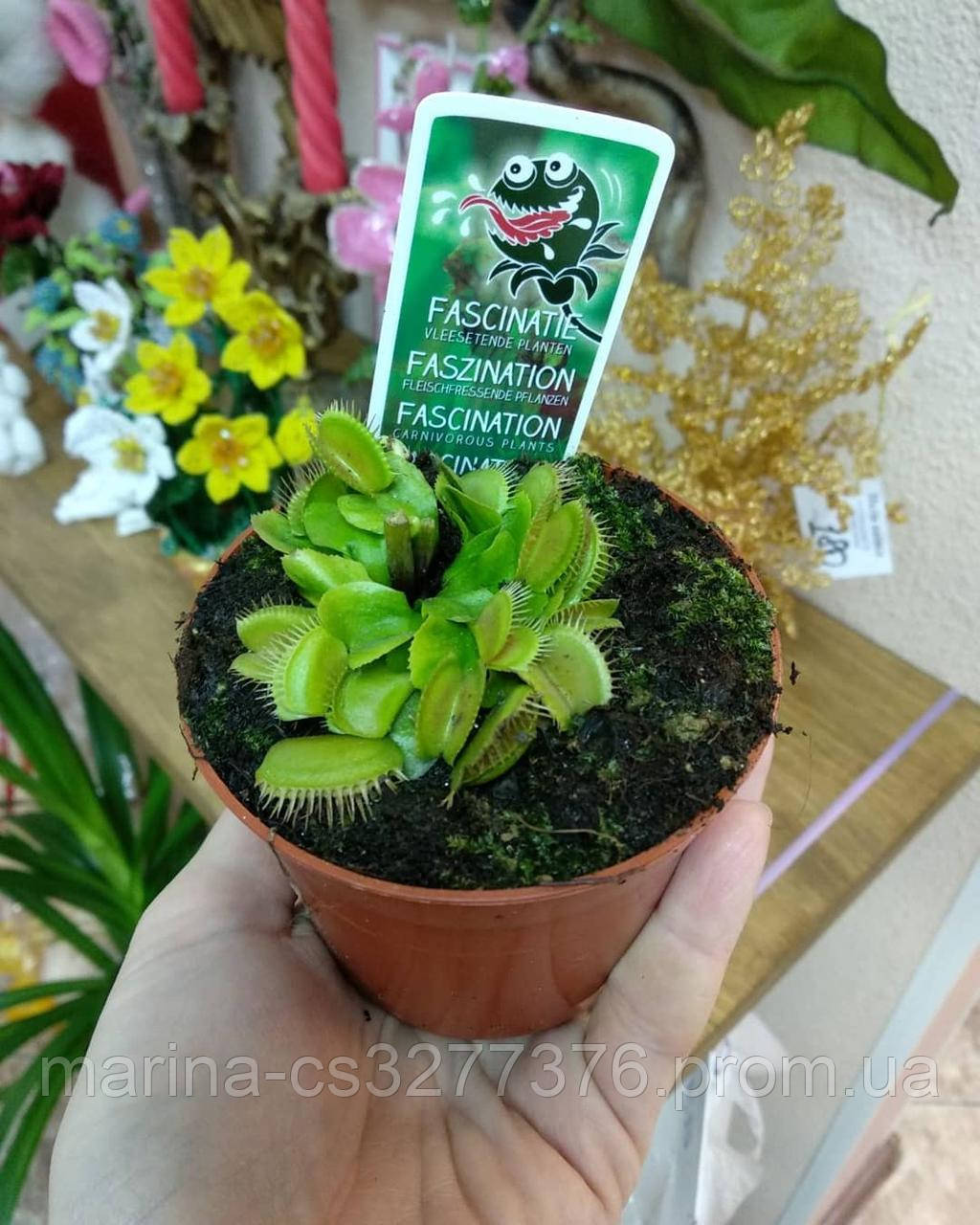 Венерина мухоловка растение-хищник с листьями-ловушками в маленьком горшке