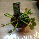 Венерина мухоловка растение-хищник с листьями-ловушками в маленьком горшке, фото 10