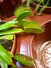 Венерина мухоловка растение-хищник с листьями-ловушками в маленьком горшке, фото 7