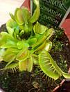 Венерина мухоловка растение-хищник с листьями-ловушками в маленьком горшке, фото 6