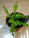 Венерина мухоловка растение-хищник с листьями-ловушками в маленьком горшке, фото 8