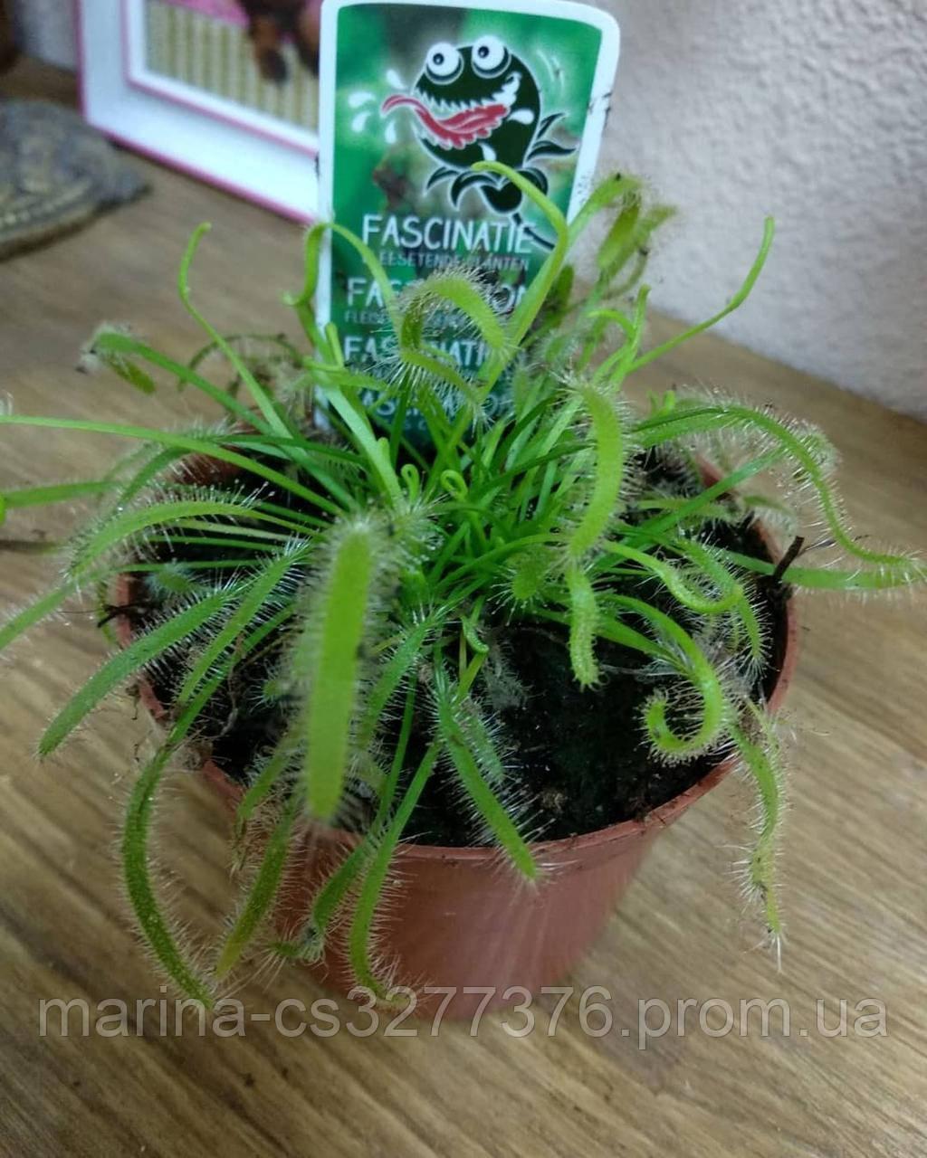 Росянка растение-хищник со сладкими листьями-ловушками в маленьком горшке