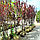 Слива растопыренная 'Писсарди'/ Prunus cerasifera 'Pissardi' / Слива розчепiрена 'Пiссарді', фото 5
