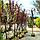 Слива растопыренная 'Писсарди'/ Prunus cerasifera 'Pissardi' / Слива розчепiрена 'Пiссарді', фото 3