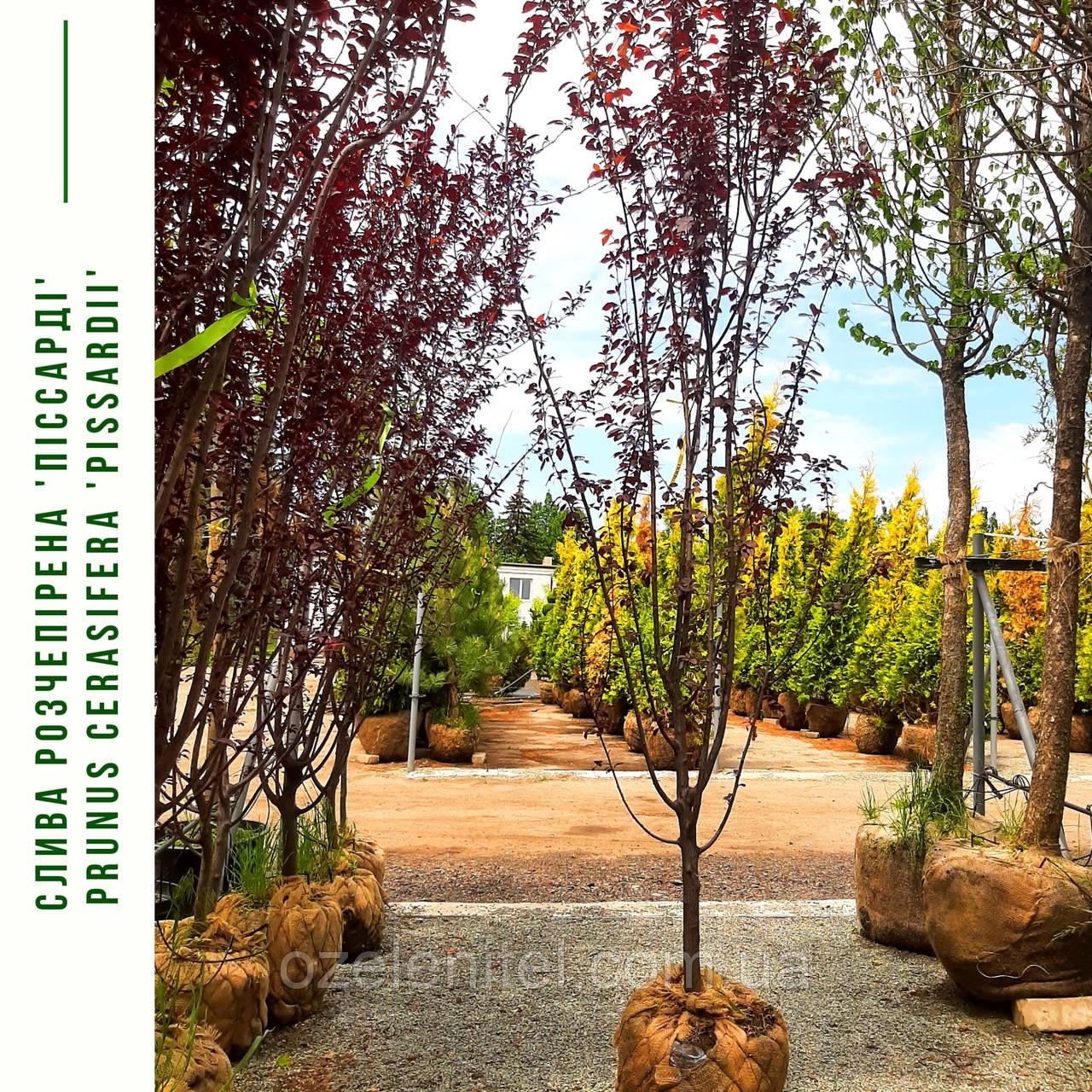 Слива растопыренная 'Писсарди'/ Prunus cerasifera 'Pissardi' / Слива розчепiрена 'Пiссарді'
