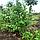 Рябина скандинавская (мультиштамб) / Sorbus intermedia / Горобина скандинавська (мультиштамб), фото 3