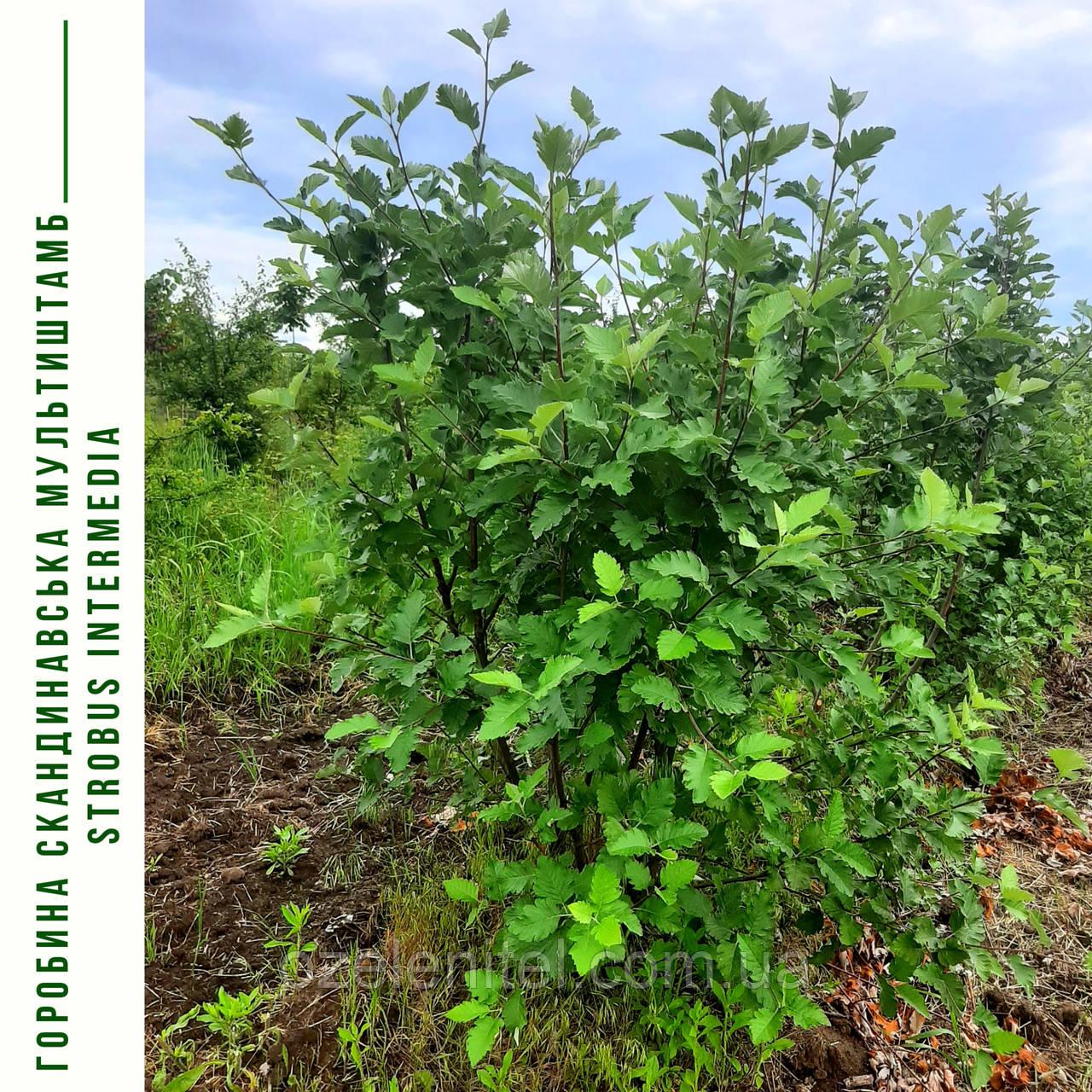 Рябина скандинавская (мультиштамб) / Sorbus intermedia / Горобина скандинавська (мультиштамб)