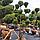 Можжевельник китайский 'Стрикта'/ Juniperus chinensis 'Stricta'/ Ялівець китайський 'Стрікта' БОНСАЙ, фото 3