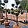 Можжевельник китайский 'Стрикта'/ Juniperus chinensis 'Stricta'/ Ялівець китайський 'Стрікта' БОНСАЙ, фото 2