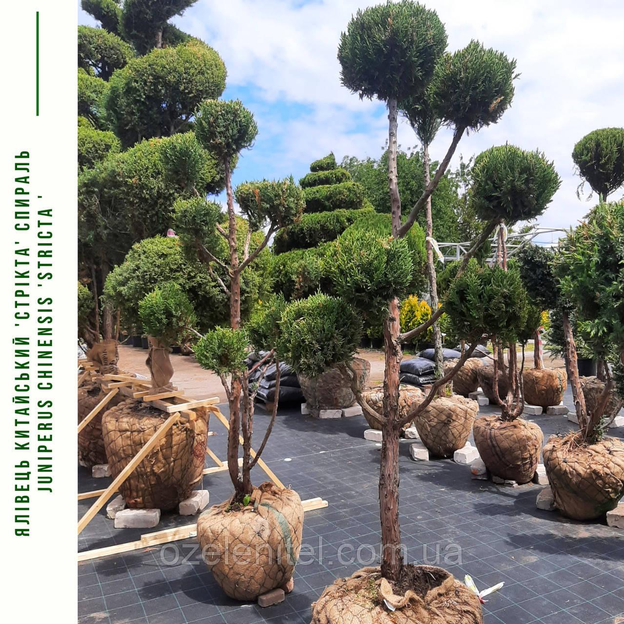 Можжевельник китайский 'Стрикта'/ Juniperus chinensis 'Stricta'/ Ялівець китайський 'Стрікта' БОНСАЙ